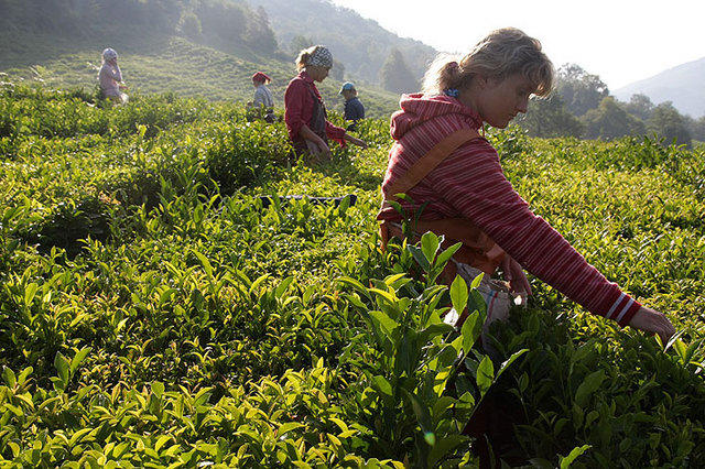 Как и где растет чай и как его правильно готовить