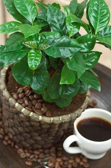 Секреты выращивания кофе арабика в домашних условиях