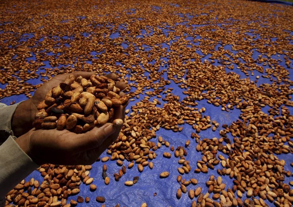 Какао – бобы – суперфуд здоровья и долголетия. в чем их польза