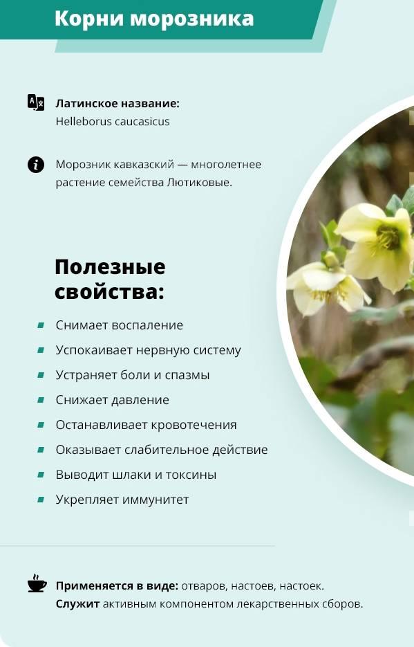 Польза и противопоказания к употреблению морозника кавказского