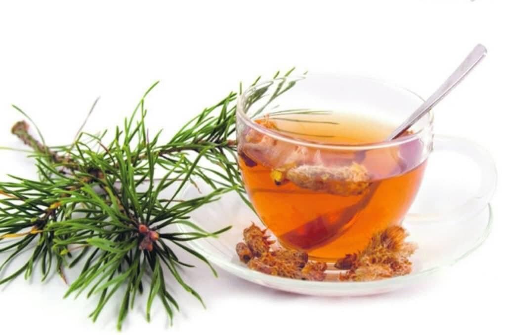 Пихта – полезные свойства, применение, рецепты и эффективность