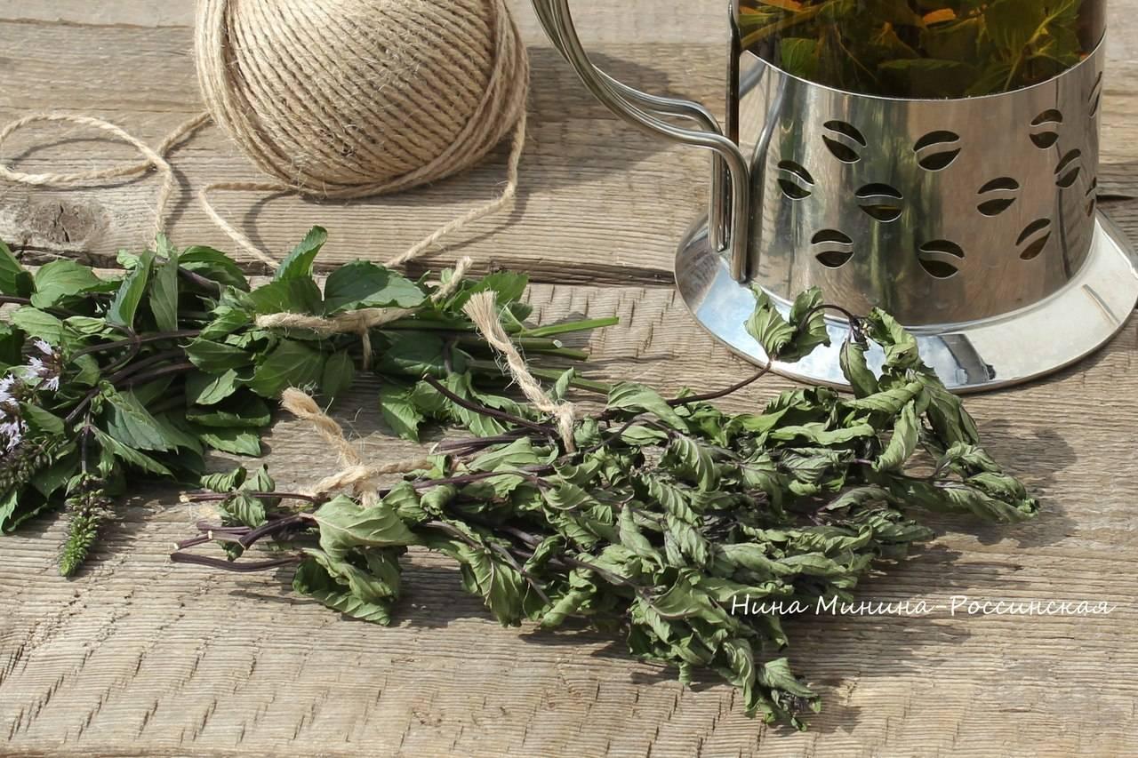 Заготовка мяты: как сушить и хранить растение в домашних условиях