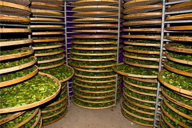 Производство иван-чая в промышленных и домашних условиях как бизнес: ферментация, технология, оборудование, мясорубка