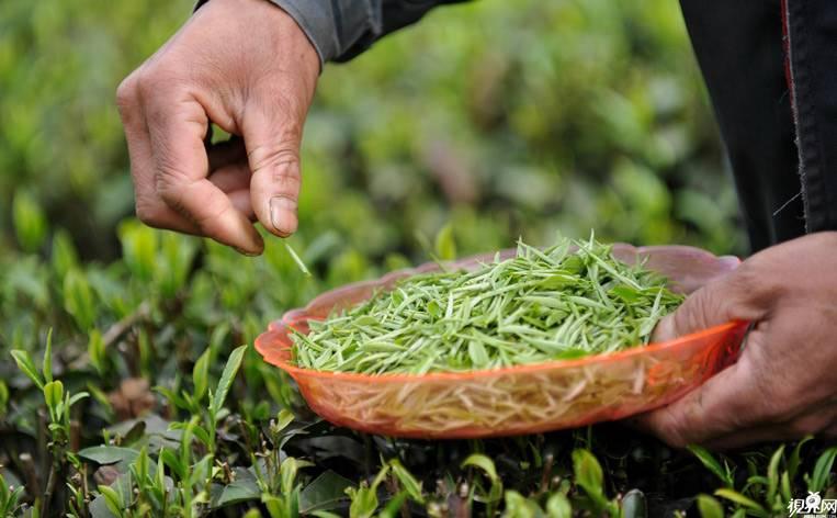 Технология производства чая