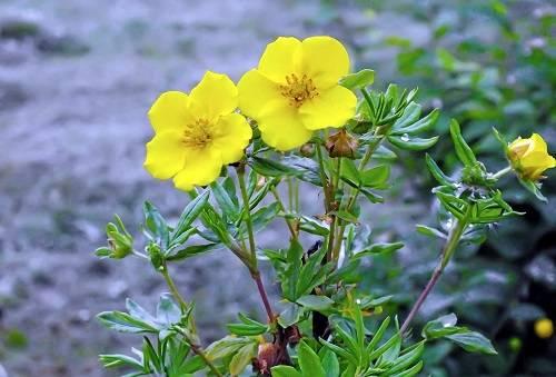 Курильский чай даурский, правила выращивания растения в домашних условиях
