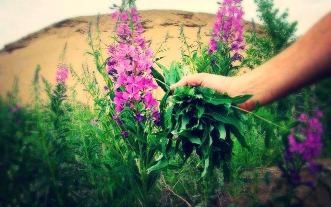 Как и когда можно собирать иван-чай, как правильно засушить, хранить и заваривать листья и цветы