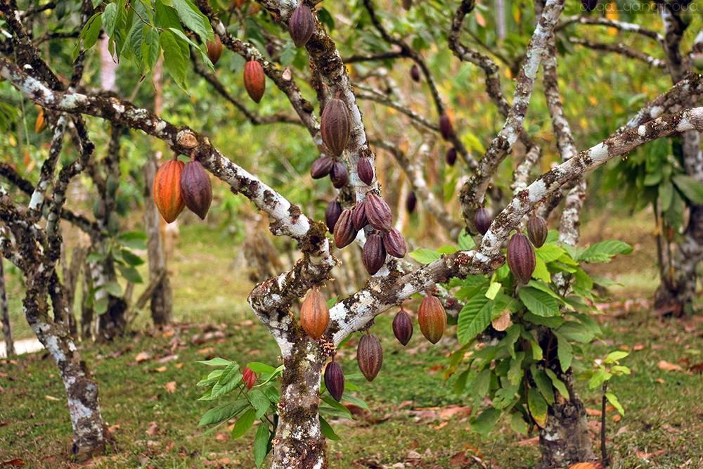 Какао дерево: где растет, как выращивают на фермах, фото