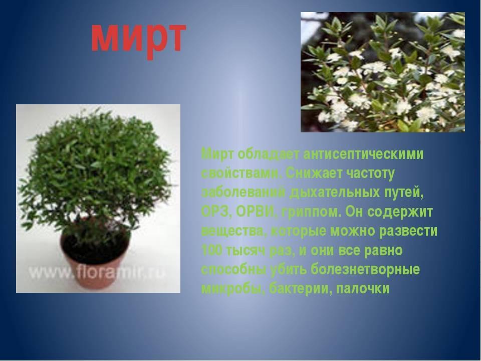 Мирт: полезные свойства и применение в медицине