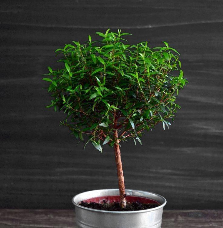 Комнатное растение «мирт»: полезные и вредные свойства