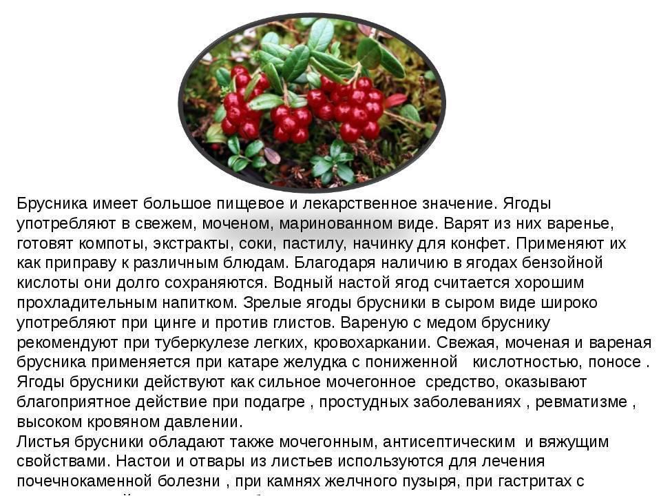 Брусничный чай - полезные свойства и противопоказания