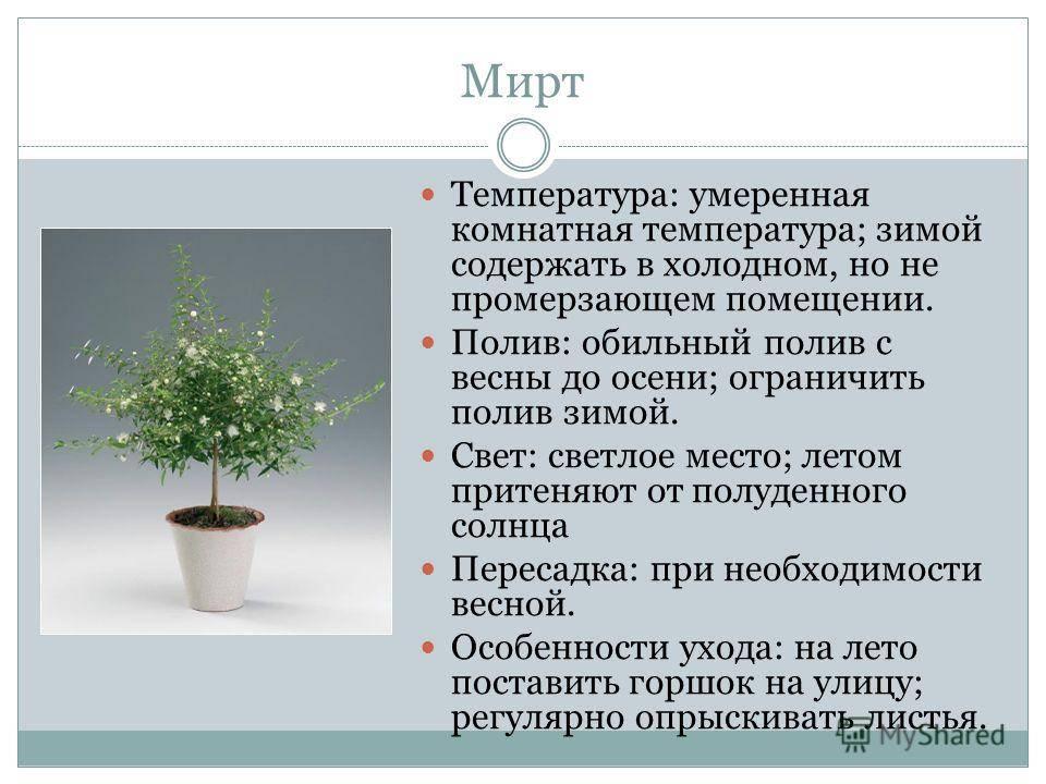 Мирт: полезные свойства, противопоказания, польза, рецепты