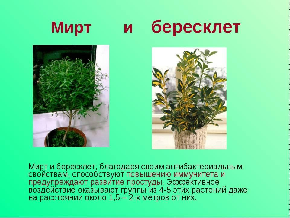 Растение мирт комнатный: уход в домашних условиях
