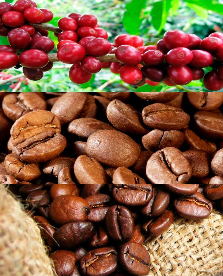 Уход за кофейным деревом в домашних условиях. кофейное дерево- все о выращивании кофе в домашних условиях