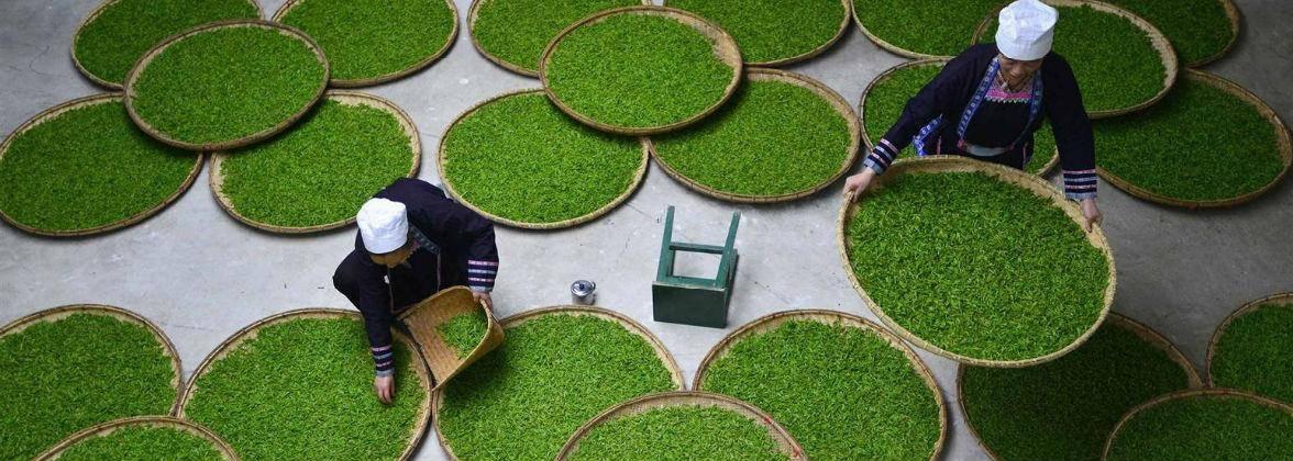 Ферментация и окисление в производстве чая