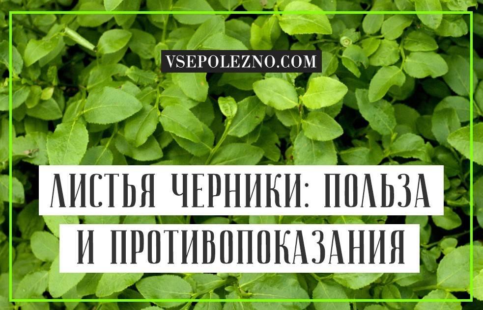 Полезные свойства листьев черники и противопоказания