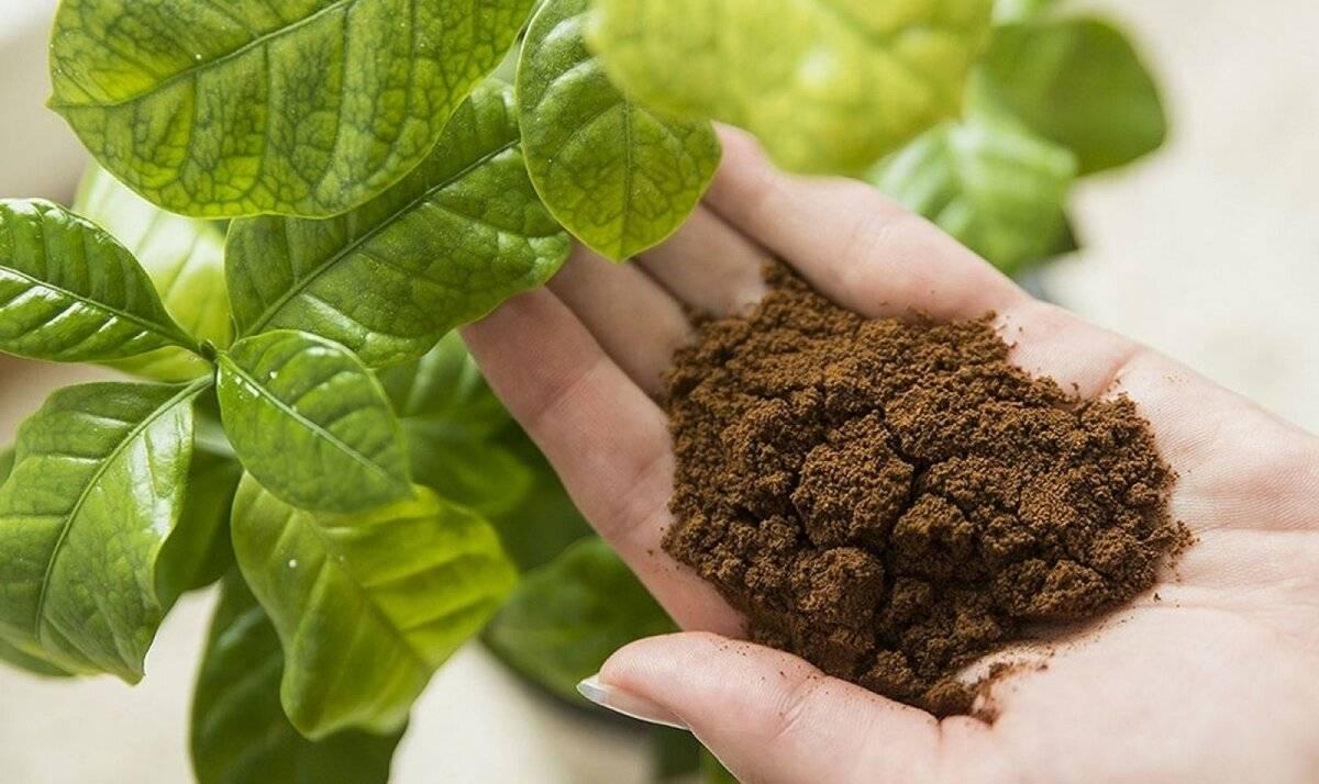 Кофейная гуща как удобрение: для каких растений используется