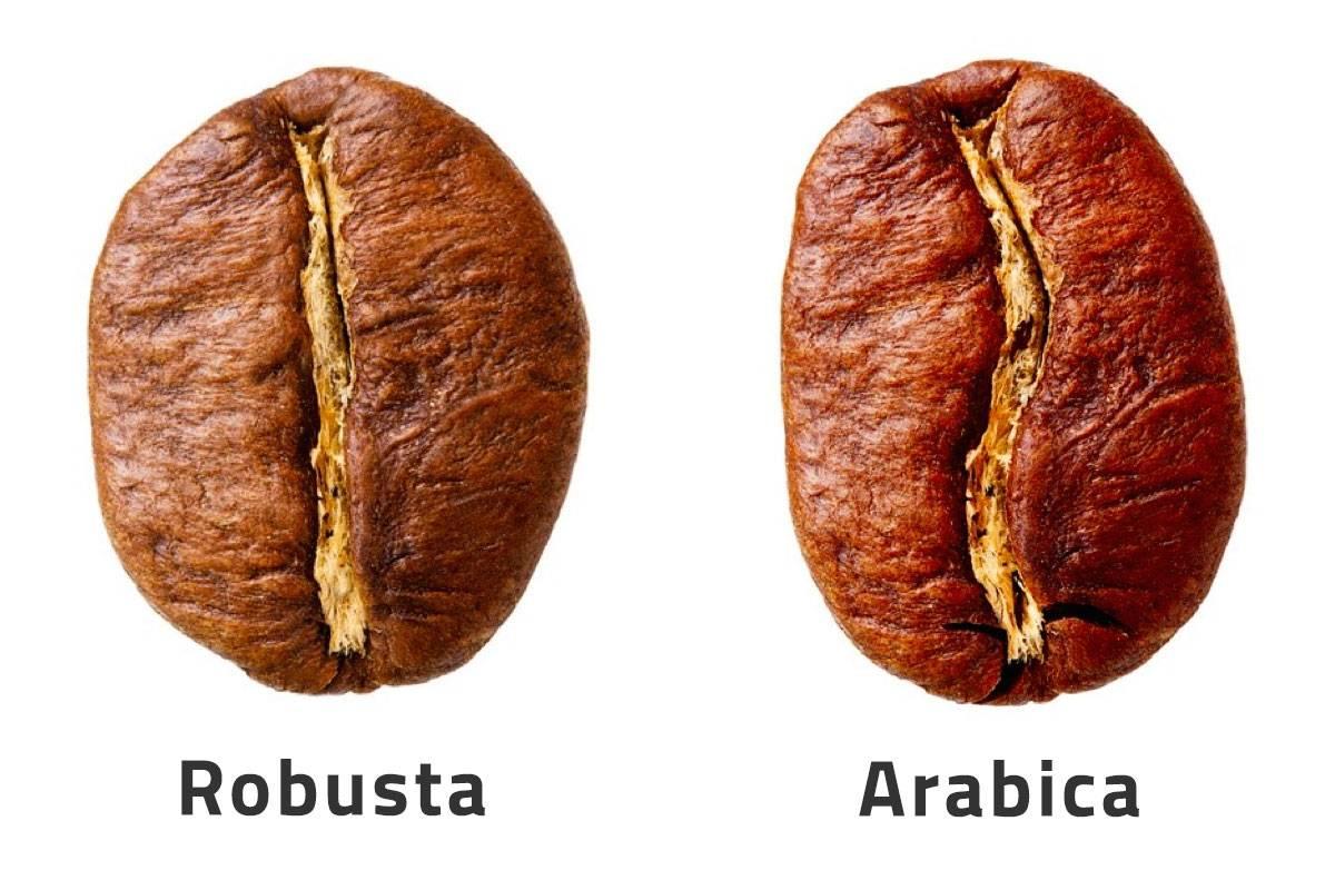 Кофе арабика и робуста мокко: отличия сортов, какой из них лучше