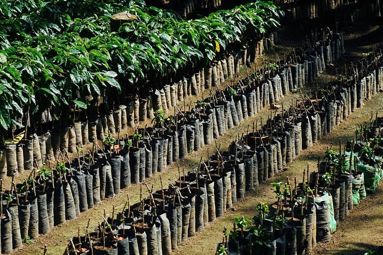 9 важных нюансов по выращиванию кофе
