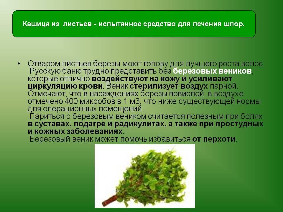 Лист березы – лечебные свойства и противопоказания, отвар, лечебные свойства, польза березовых листьев