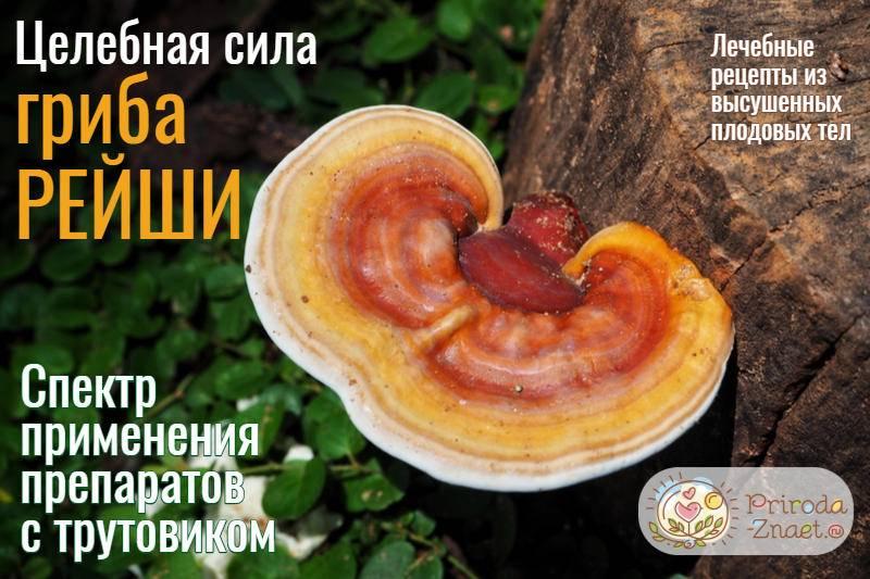 Рейши гриб: полезные свойства, противопоказания, рецепты