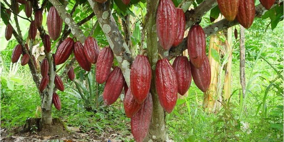 Авокадо - где растет, в какой стране? как вырастить авокадо из косточки в домашних условиях - sadovnikam.ru
