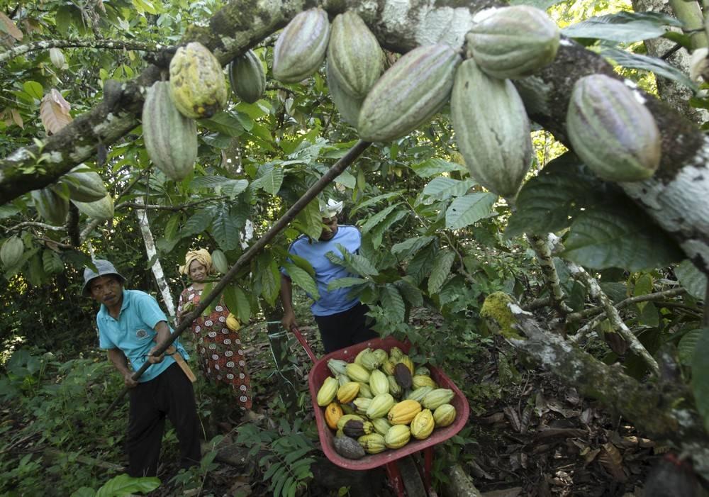 Какао-дерево: фото, выращивание в домашних условиях