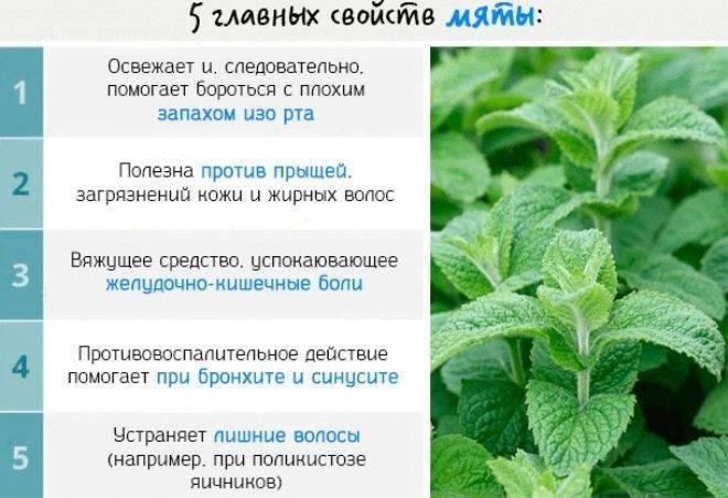 Мелисса при беременности на ранних сроках, во 2 и 3 триместрах: можно ли пить отвар лимонной мяты женщине во время ношения плода или нет, как это делать для лечения? русский фермер