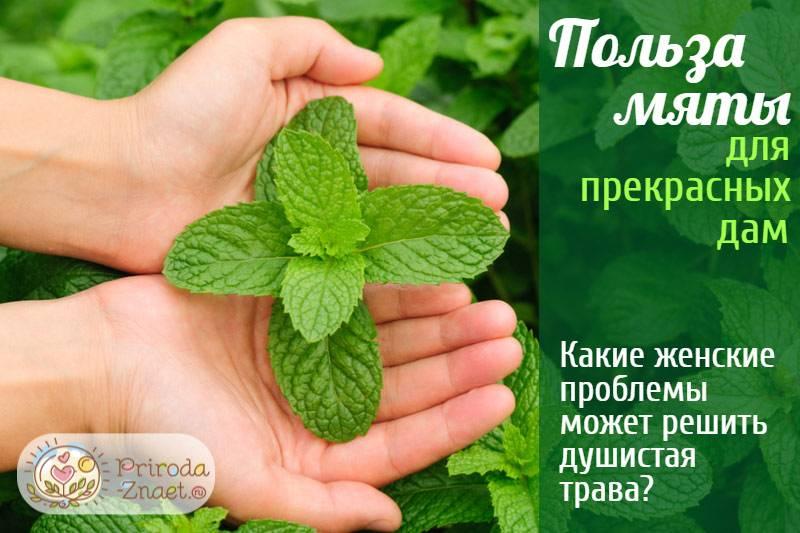 Чай с мятой: полезные свойства и противопоказания