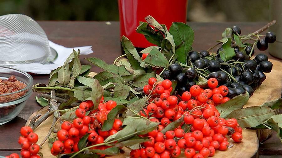 Чай из рябины красной: польза и вред отвара, как заваривать правильно
