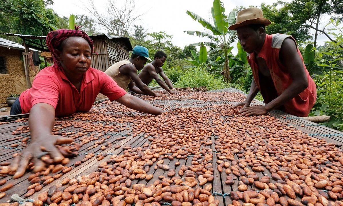 Какао польза и вред для здоровья порошок какао бобы фото