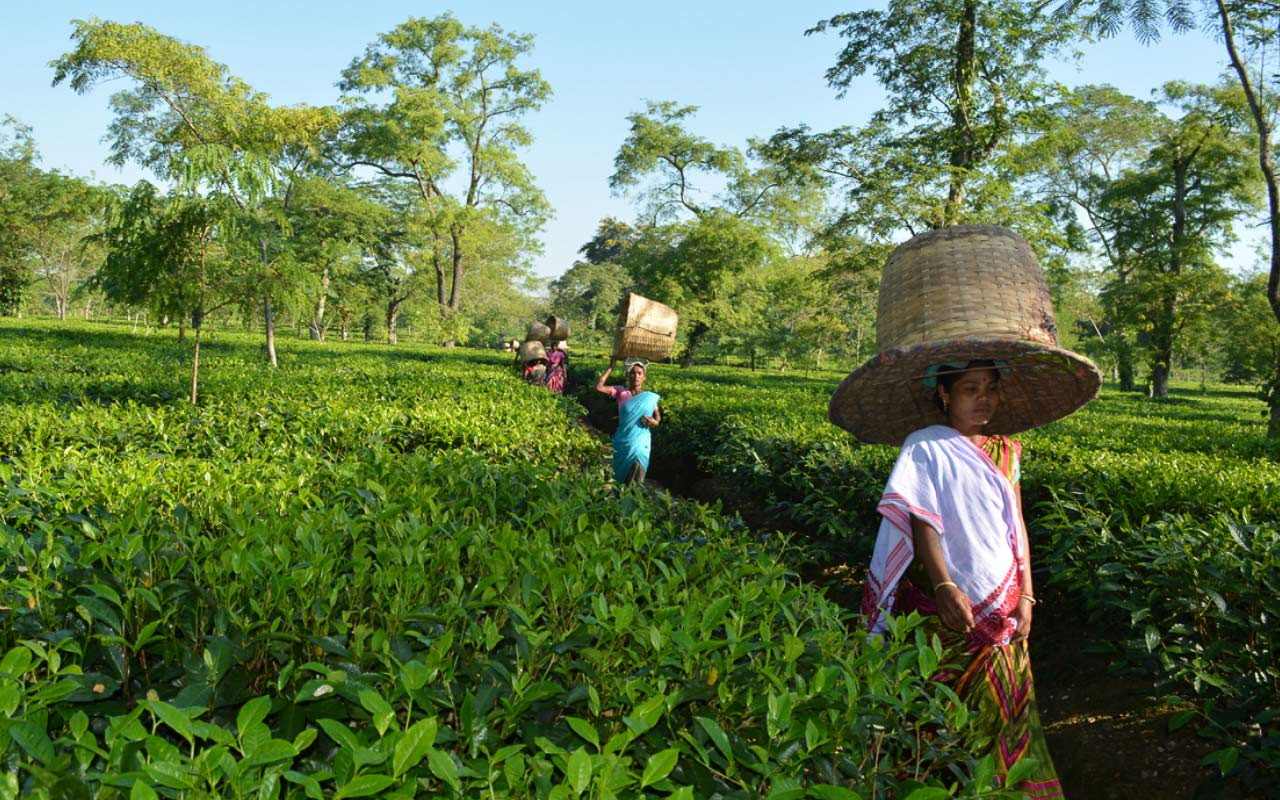 Выращивание чая на шри-ланке - teaterra   teaterra