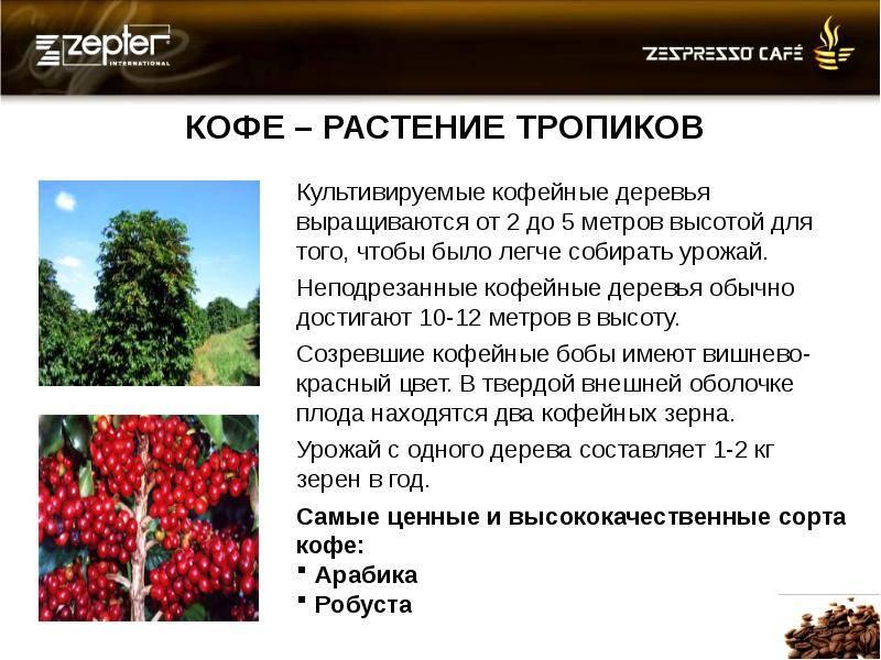 Родина кофе и кофейного дерева