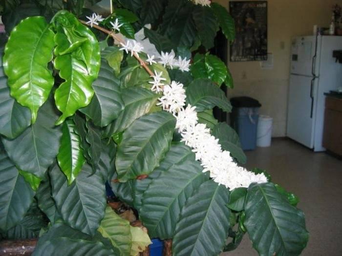 Кофейное дерево дома