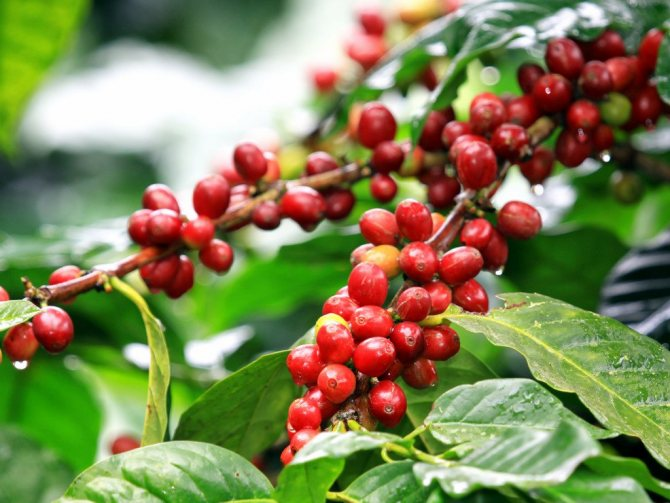 География кофе – колумбия