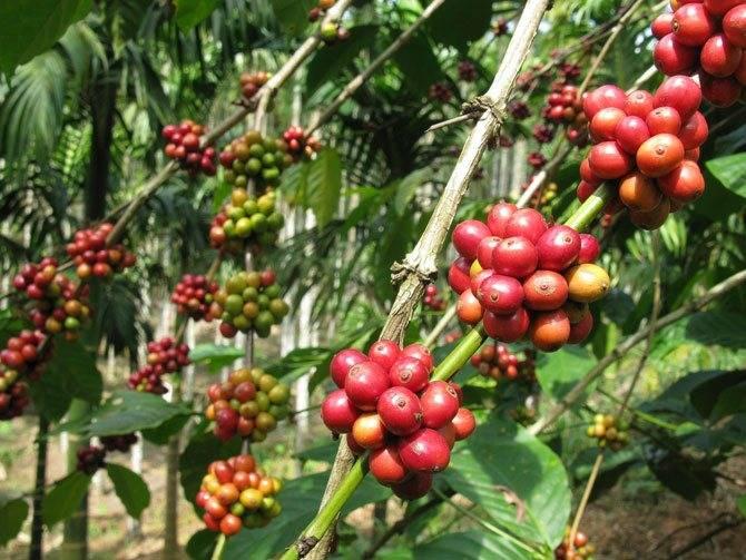 История кофе родом из эфиопии