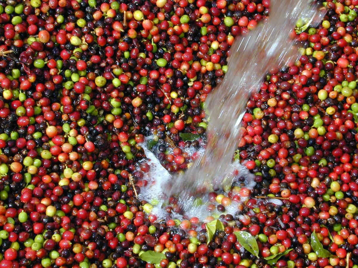 Бразильский кофе: лучшие сорта и способы заваривания