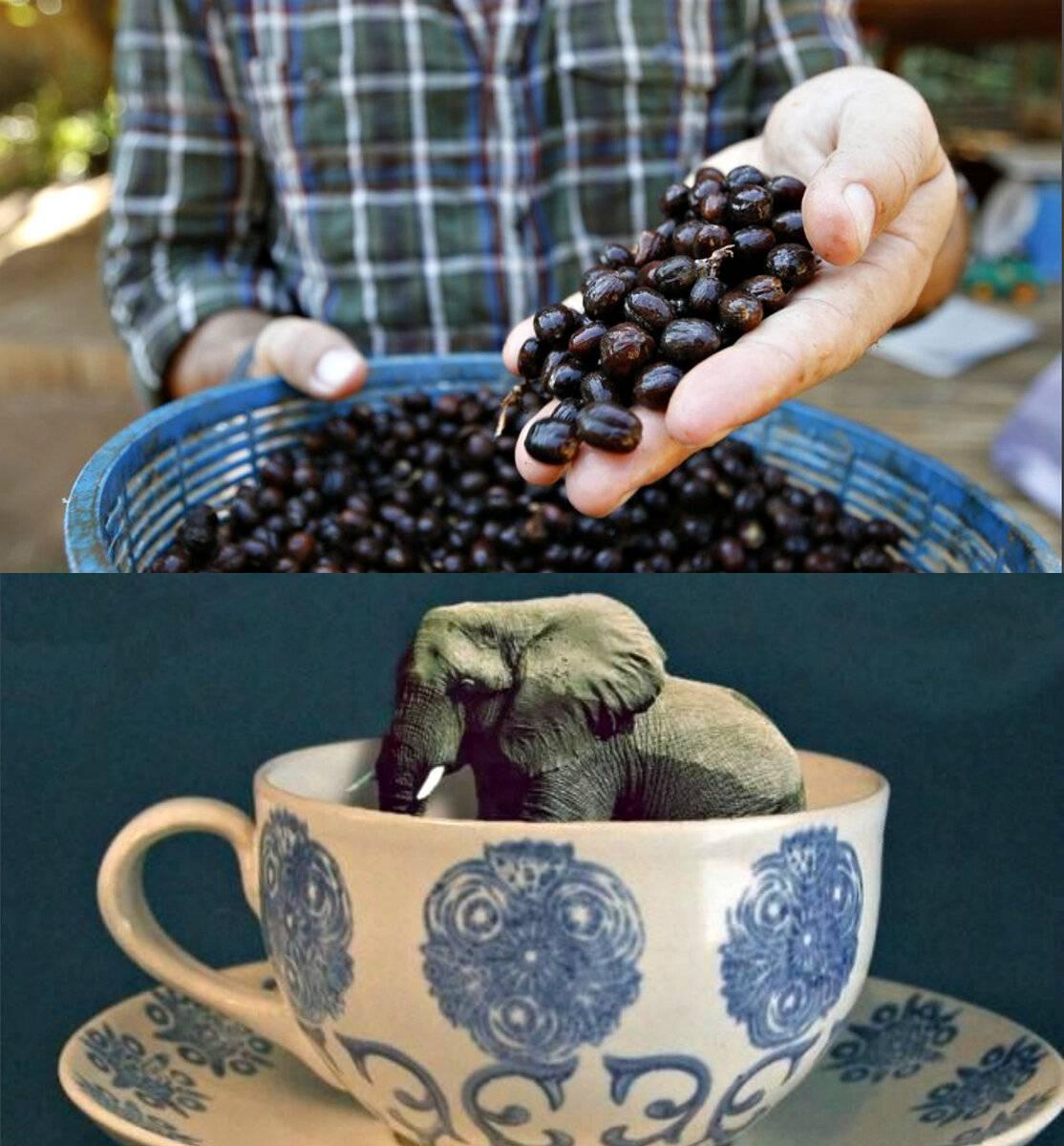 Самый дорогой кофе в мире отнюдь не копи лювак!