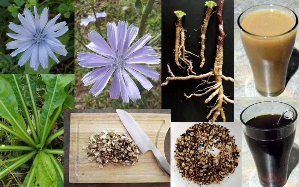 Цикорий вместо кофе - полезные свойства и советы по выбору