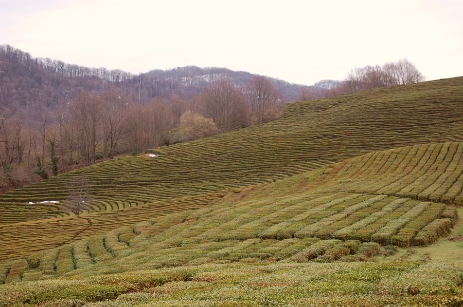 Краснодарский чай века от производителя, чайные плантации краснодарского края