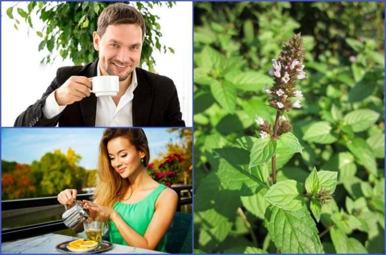 Полезные свойства чая с мятой и противопоказания к применению