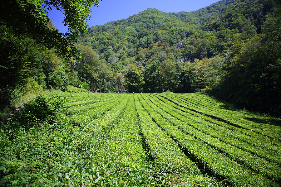 Краснодарский чай: виды, состав, где выращивают - rus-womens