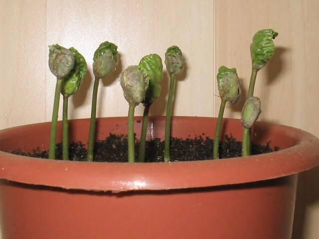 Кофейное дерево в домашних условиях: как вырастить экзотическое растение