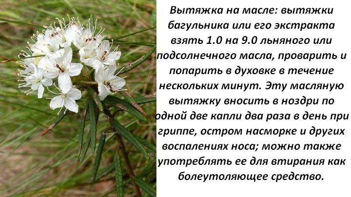 Багульник болотный — лечебные свойства и противопоказания. применение, рецепты, отзывы