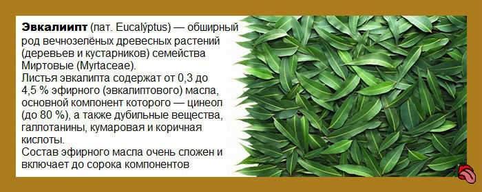 Как заварить листья эвкалипта от кашля для детей