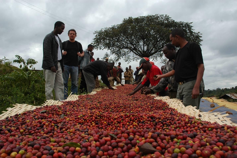 Как растет кофе, где его выращивают в мире, родина кофе