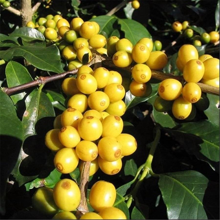 Сорт арабики Желтый бурбон (Yellow Bourbon)