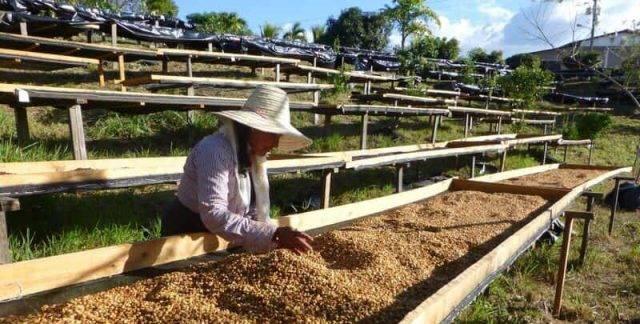 Способы обработки кофе: сухая обработка кофе, мытая обработка кофе