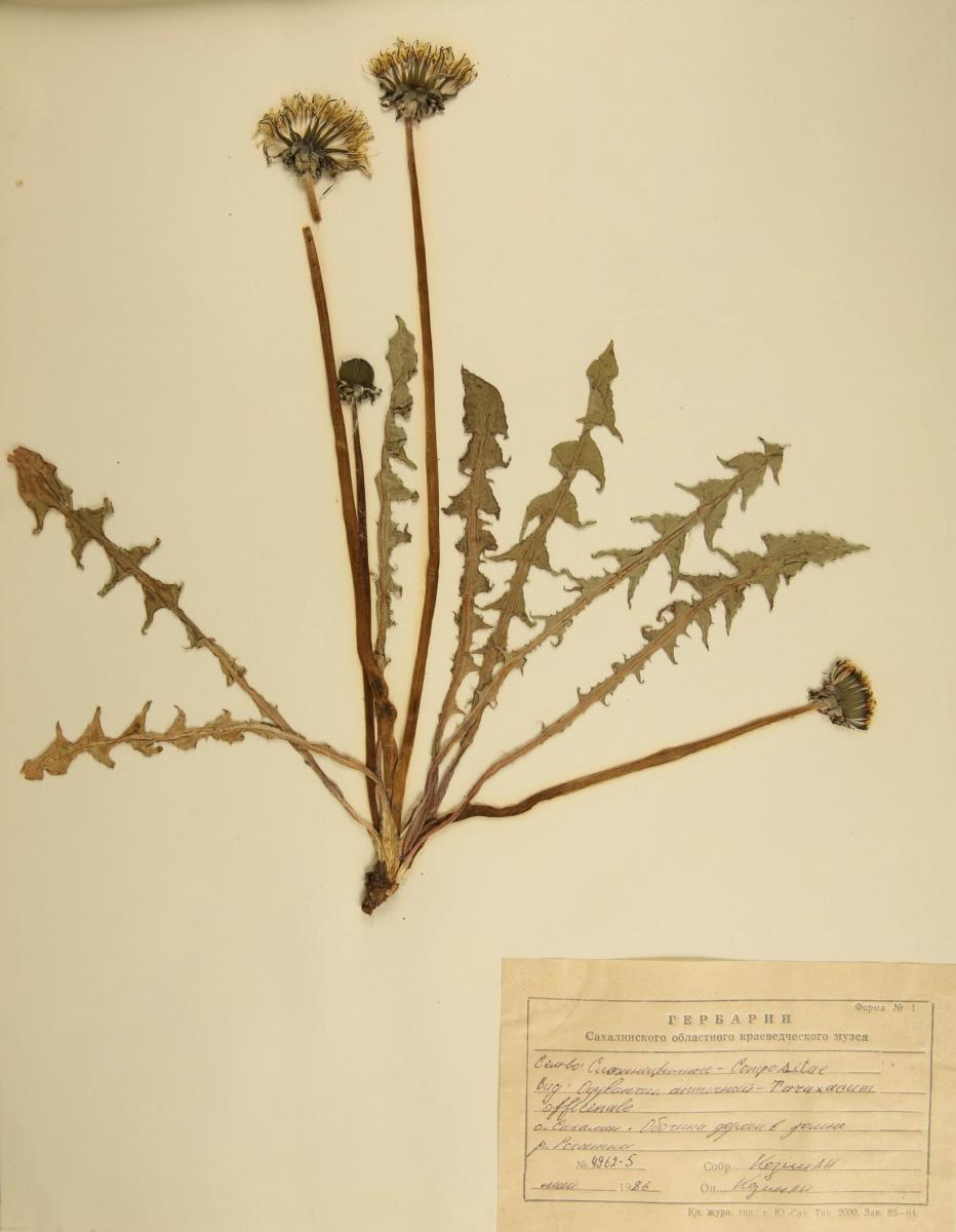 Трава одуванчик - лечебные свойства и противопоказания