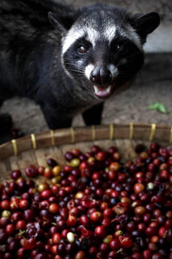 Кофе лювак – настоящее вьетнамское сокровище или очередной трюк