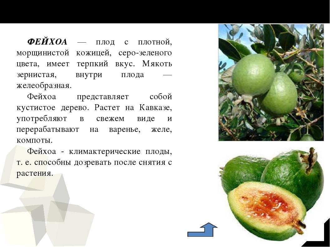 Что такое фейхоа и как его едят: полезные свойства и противопоказания
